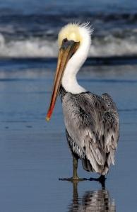maine_pelican_6305