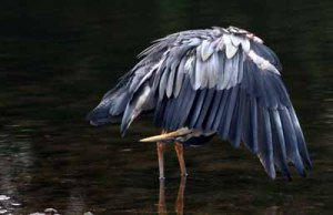 A blue heron bending down