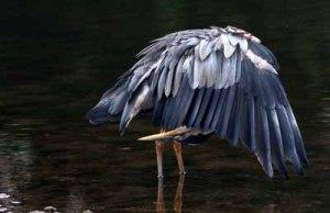 A blue heron bending down
