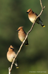 photographers_dream_cedarwaxwing_8313