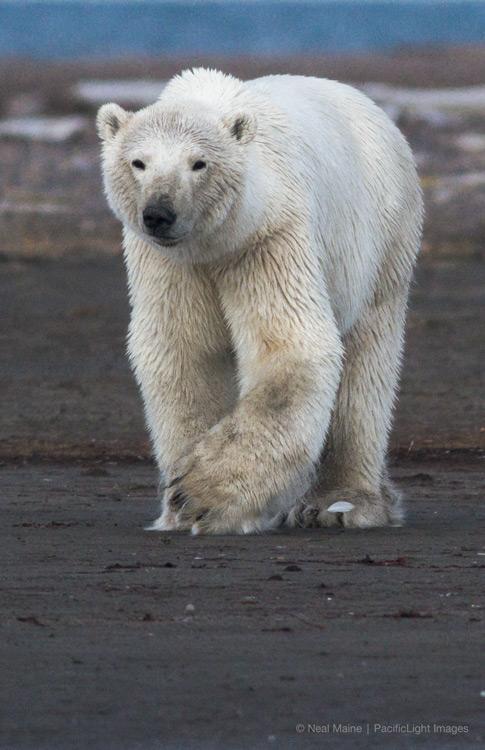 Snow Shoe Polar
