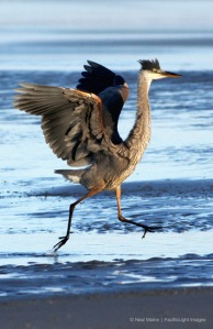 blueheron_roadrunner_4507