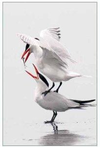 caspian-terns