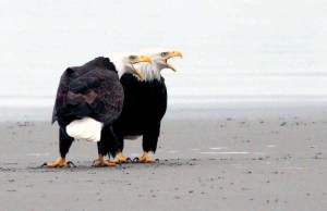 Photo by Neal Maine / PacificLight Images Bald eagles on Clatsop Beach.