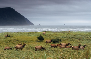 coastal-elk