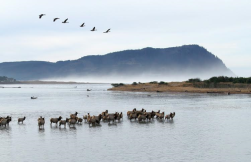 Coastal elk gathering in the Necanicum Estuary/ Seaside.